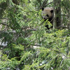 А вот и сама панда - не зря взяли 18-300, если вы понимаете, о чем я :)